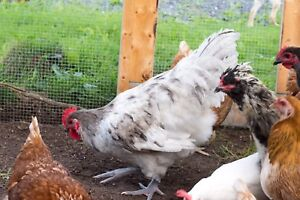 Free Orpington Roosters