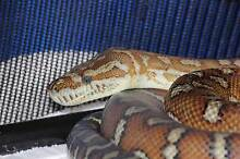 Centralian Pythons ( Bredlii ) Breeding Pair and Babies For Sale Mooroopna Shepparton City Preview