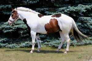 2012 APHA mare