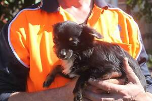 Chihuahua long hair male Berkeley Vale Wyong Area Preview