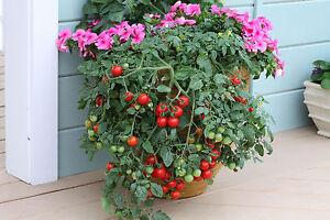 Tomato - Tumbling Tom Red 10 seeds - Vegetable