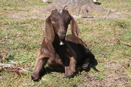 baby goat kids St Helens Break ODay Area Preview
