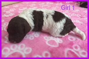 Chocolate & White Parti Coloured Toy Poodle Puppies Kempsey Kempsey Area Preview