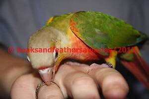 Green Cheeks, Sun Conures, Alexandrines, Moustache and Plum head South Windsor Hawkesbury Area Preview