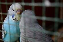 4 English baby budgies for sale South Launceston Launceston Area Preview
