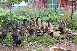Ducks for sale Sheffield Kentish Area Preview