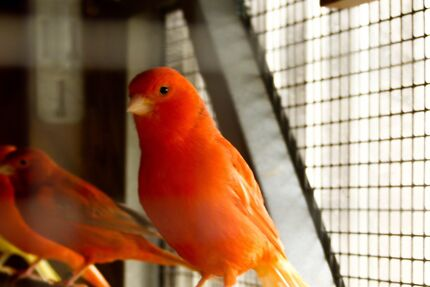 Red Factor Canaries for sale Bankstown Bankstown Area Preview