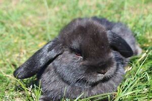 Holland Lop Rabbits!