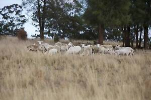 10 Dorper ewes + lambs + ram Eumungerie Dubbo Area Preview