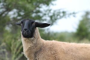 Purebred Suffolk Sheep for sale