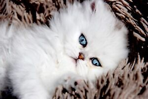 Persian kittens(sold)
