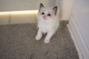 ragdoll kittens looking for new home