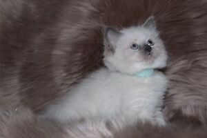 MYSTICROSE RAGDOLLS 4 BEAUTIFUL KITTENS AVAILABLE 1 MALE, 3 FEMALES Ferntree Gully Knox Area Preview