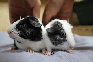 BABY GUINEA PIGS/ADULT GUINEA PIGS FOR SALE FROM BREEDER Ingleside Warringah Area Preview