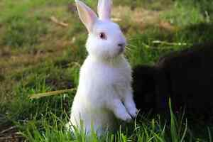 Friendly Neithland  dwarf lop rabbits Fulham West Torrens Area Preview