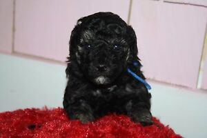 Mini Poodles looking for loving home  - 1 Male
