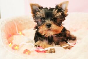 Yorkie Girl Puppies - Teacup Size