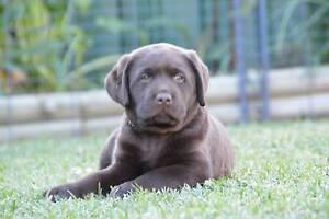 Purebred Labrador Retriever Puppy for Sale - Chocolate Parramatta Parramatta Area Preview