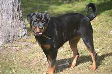Quality Pedigree Rottweiler pups Delaneys Creek Moreton Area Preview
