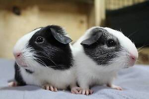 BABY GUINEA PIGS FOR SALE Ingleside Warringah Area Preview
