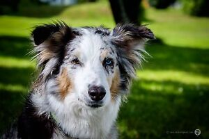 Well trained aussie dog looking for home