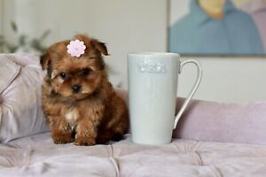 Femelle Tea-cup Maltipoo abricot (www.pensionpuppylove.com)