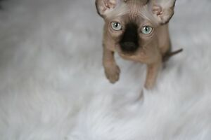Sphynx kitten SOLD keep watching for upcoming litters!!