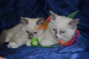Blue Mitted Male and Female Ragdoll pedigree kittens Heathmont Maroondah Area Preview