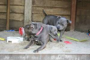 2 x Blue Staffies Father and Son Diddillibah Maroochydore Area Preview