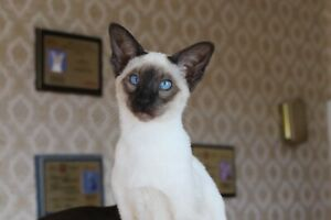 BEAUTIFUL SIAMESE/ORIENTAL SHORTHAIR