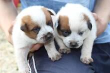 Pure Red Heeler Pups Wynyard Waratah Area Preview
