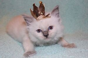 RAGDOLL KITTENS  1 MALES & 1 FEMALE LEFT Ferntree Gully Knox Area Preview