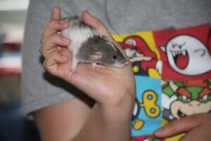 3 beautiful male rats that need a good home