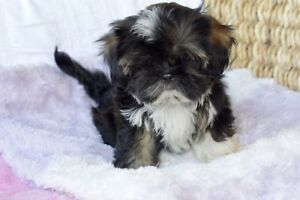 Belle petite Bichon X Shih Tzu miniature (Pension Puppy Love)