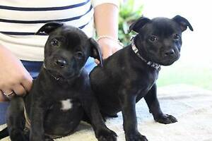 Purebred English Staffordshire Bull terrier Puppies Boronia Heights Logan Area Preview