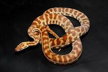 Stimsons Pythons for sale  - 2 Females, 2 Males Iluka Joondalup Area Preview