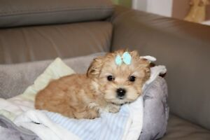 Superbe petit Morkie Tiny Toy blond (Pension Puppy Love)