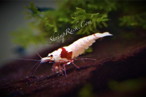 10+1 Crystal Red Shrimp (Mixed Grade S-SSS). Live Guarantee by ShrimpRack