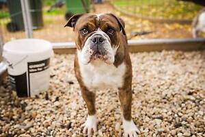Rehoming Female Aussie bulldog Moama Murray Area Preview