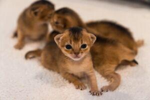 Purebred Abyssinian kittens TICA