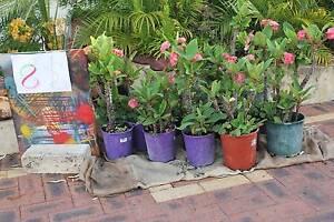 Frangipani for the small veranda or garden. Joondalup Joondalup Area Preview