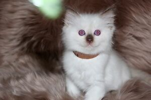 MYSTICROSE RAGDOLLS 6 PEDIGREE KITTENS FOR SALE 2 MALES, 4 FEMALES Ferntree Gully Knox Area Preview