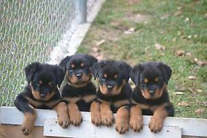 Quality Pedigree Rottweiler Pups Woodford Moreton Area Preview