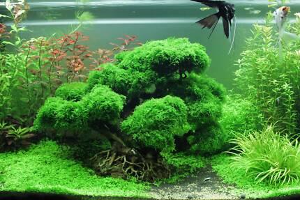 fish tank bonsai driftwood