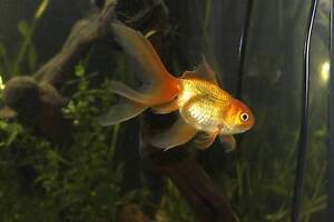 2 big fantail goldfish for sale Leichhardt Leichhardt Area Preview