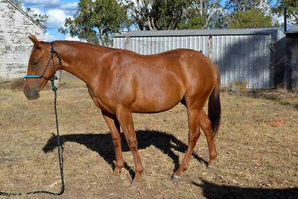 Quarter Horse Filly Q-79005 by Duckrey Narrabri Narrabri Area Preview