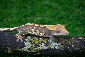 14g Crested Gecko