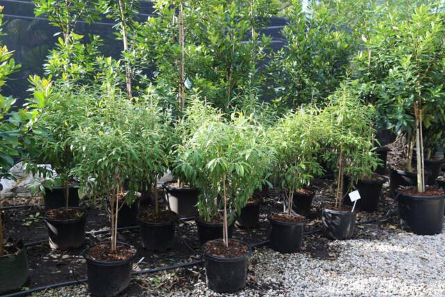 Lemon Myrtle Trees Excellent Screen Amp Lovely Scented