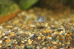 peppered corydoras Leichhardt Leichhardt Area Preview