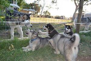 Alaskan Malamute Puppies Carisbrook Central Goldfields Preview